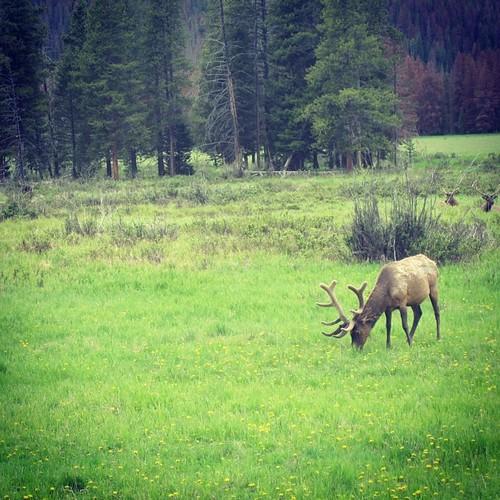Elk #rockymountains #colorado by @MySoDotCom