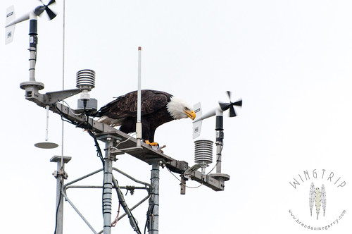 A bald eagle at Discovery Park, eating a fish on the Westpoint weather station.