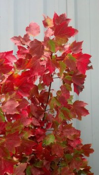 fall red maple leaves floral trade