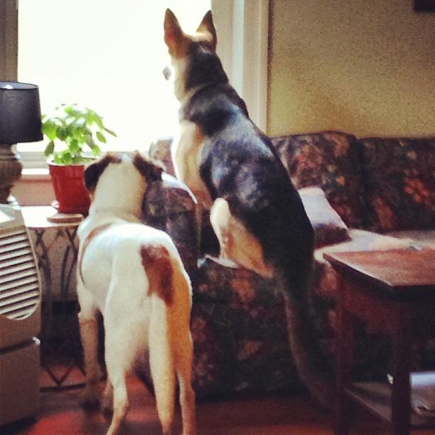 Dogs on patrol. #germanshepherd #spaniel #doghouse