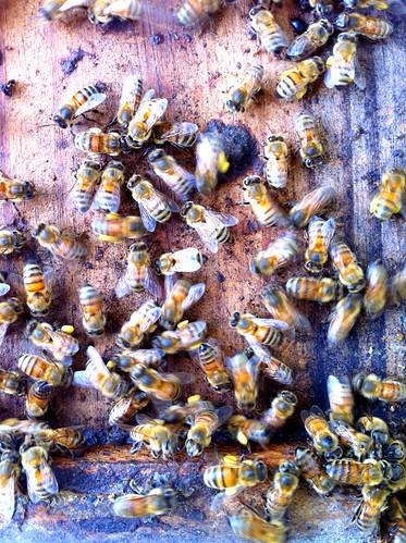 Honeybees carrying in pollen