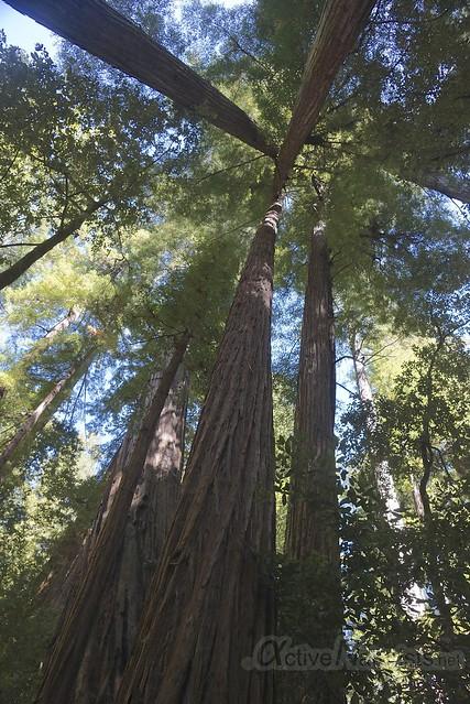 sequoia 0003 Big Basin Redwoods, CA, USA
