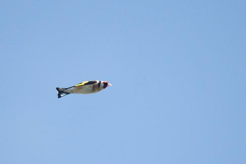 Goldfinch (Carduelis carduelis) in flight