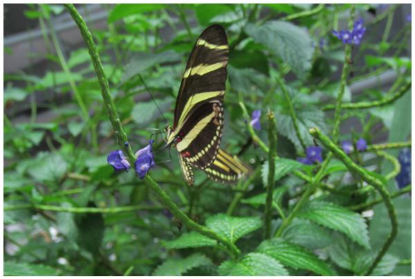 Butterfly Observation: Zebra Longwing