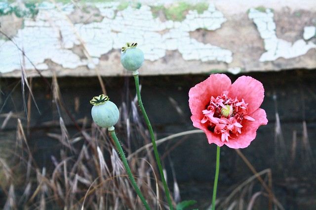 poppy against old wall