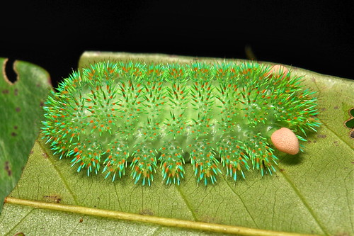 """Stinging Nettle Slug Caterpillar (Cup Moth, Limacodidae) """"Pin Cushion"""""""