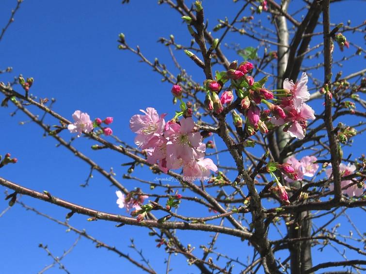 2014櫻花-陽光公園