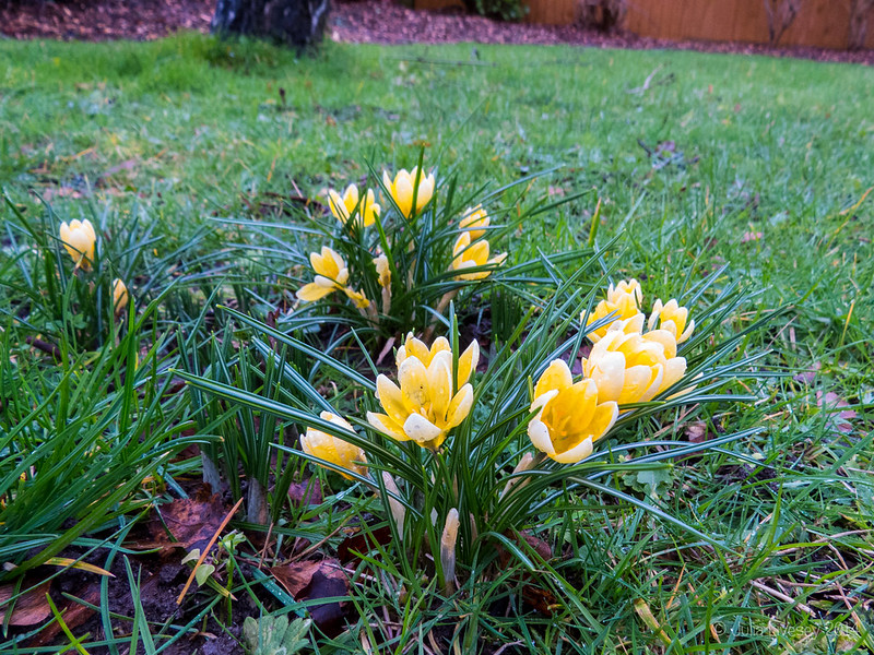 Crocuses are out in Beechbank Avenue