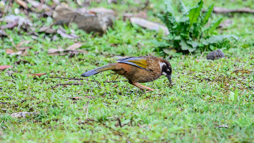 Black-faced Laughingthrush