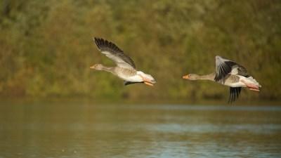 Greylags in-flight