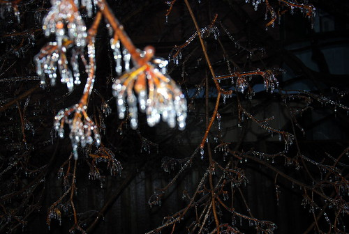 Norway Maple branch Ice Storm 2013