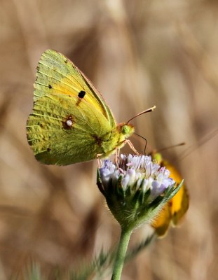Male Clouded Yellow Butterfly (Colias crocea)