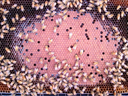 Beautiful frame of bee brood