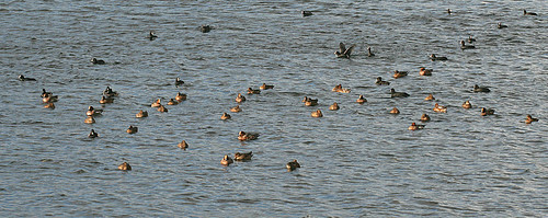 Wildfowl D res, Tophill Low NR, East Yorkshire November 2013