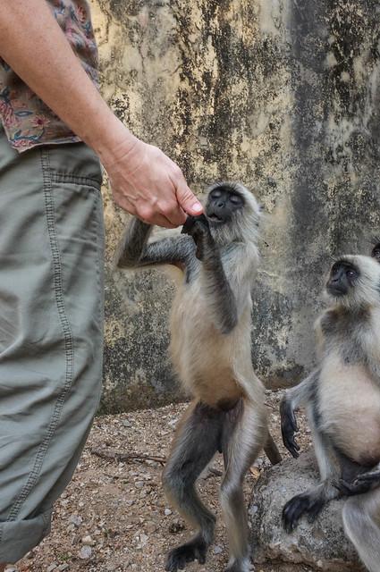 Feeding the Langurs
