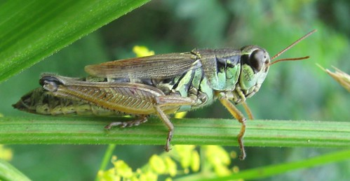 Grasshopper (Order Orthoptera), Indian Lake Park