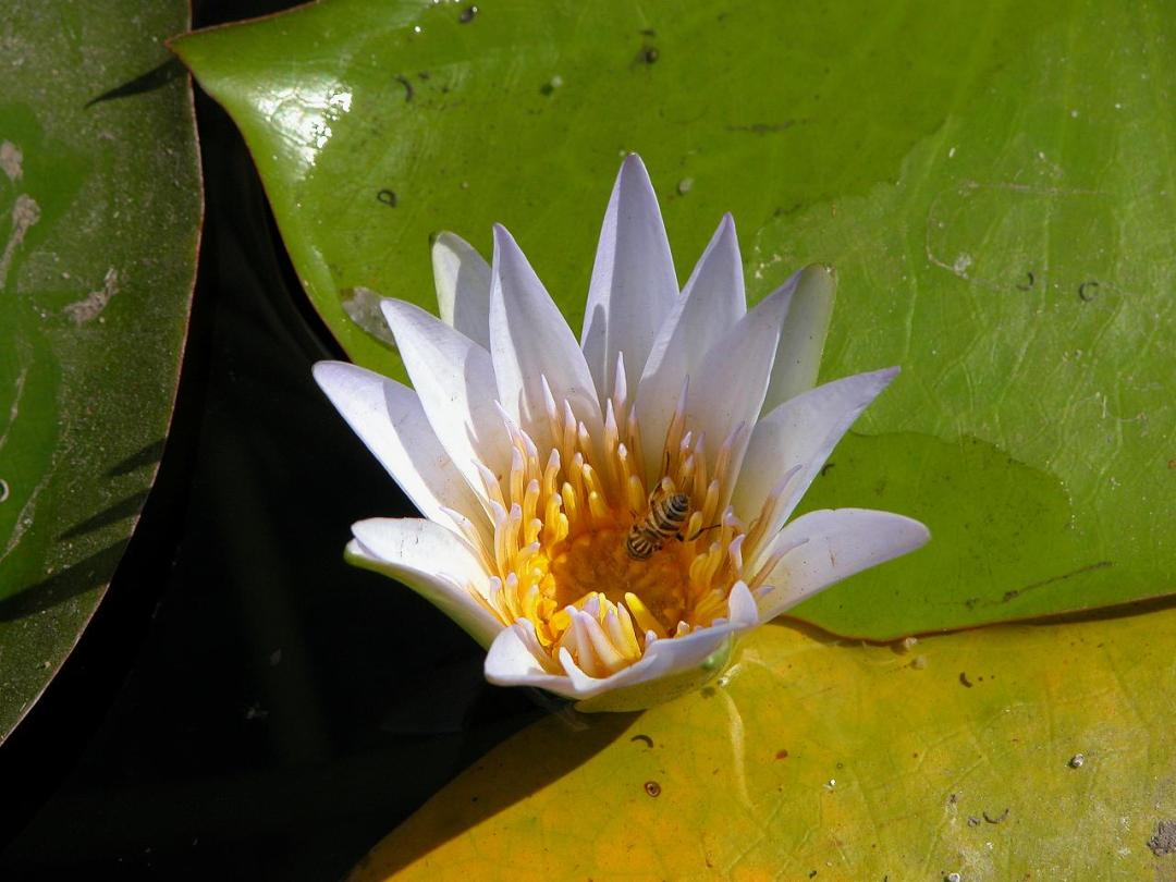 12. Flor de loto con abeja. Autor, Dennis Jarvis