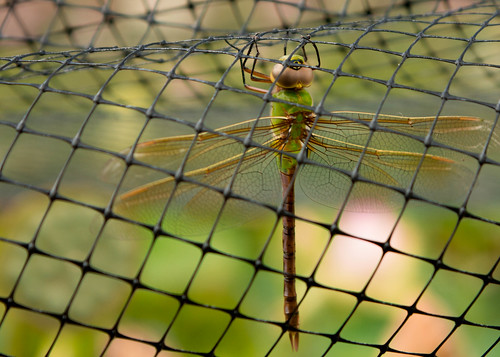 Dragonfly caught under webbing