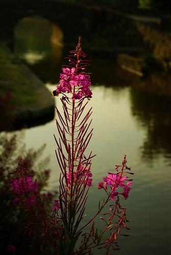 20130807-20_Canal Side Flowers - Bugsworth Basin near Buxworth by gary.hadden