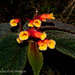 Cloud forest flowers sp.
