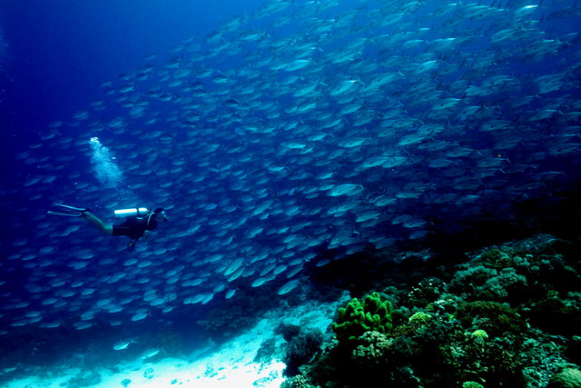 Tubbataha Reef - Shark airport 2- black jacks and tomas