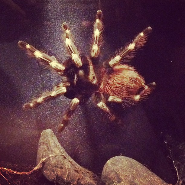 Brazilian Red and White Tarantula