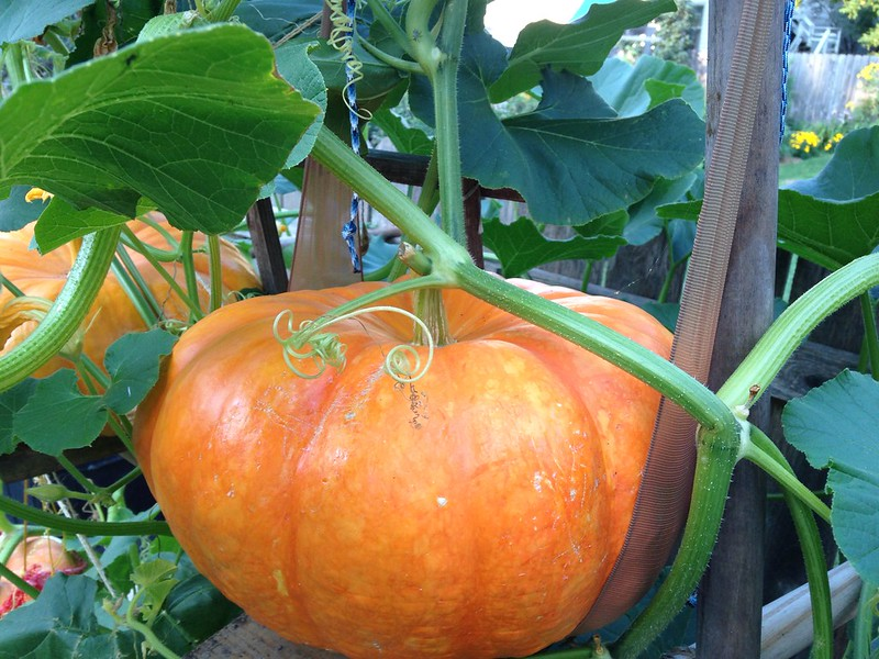pumpkin_b_8/23/13