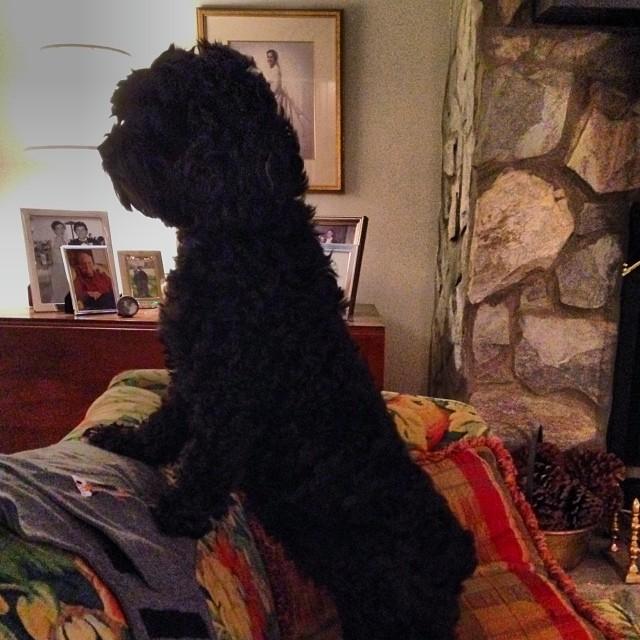 Guard dog cockapoo. #thinksshespeople @tracydare @windleypratt