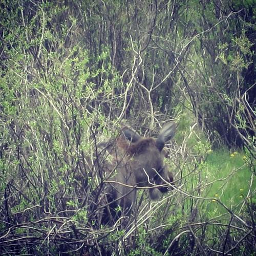 Moose #colorado #rockymountains by @MySoDotCom