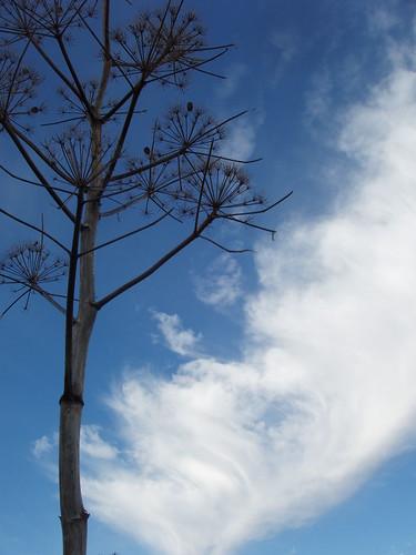2000912300085_wild-fennel-sky