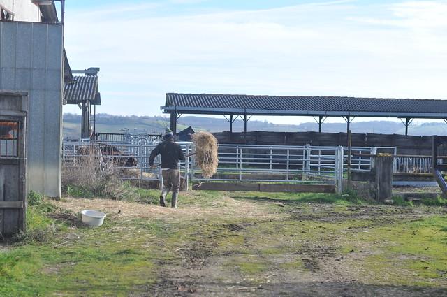 Brent feeding bulls