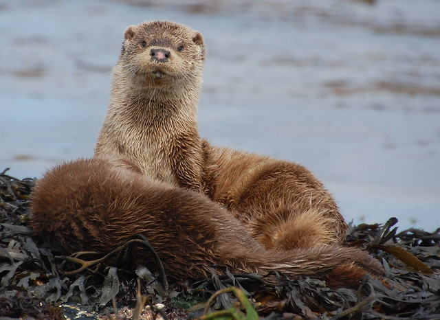 Two otters on a bed of brown kelp. One is lying down with its back to us. The other is upright on its forequarters, looking calmly straight toward the camera. Its brown nose has a pink centre, and it has sweet little round ears.