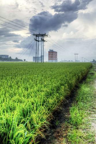 Sekinchan padi field : HDR