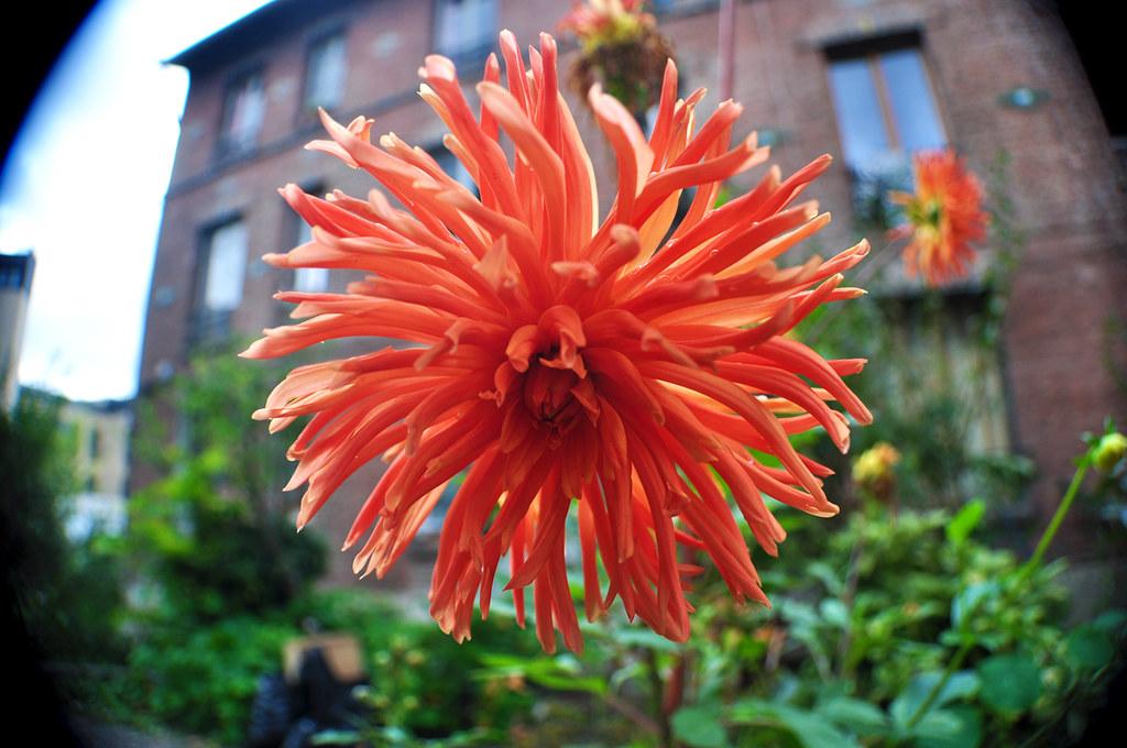 Dahlia Cactus Orange 2
