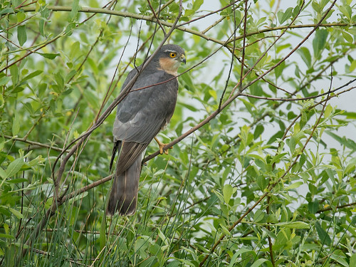 Sparrowhawk - male on willow