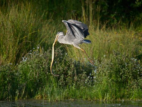 Grey Heron - flying with eel