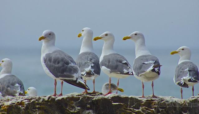 gulls 0000 4 Mile Beach, CA, USA