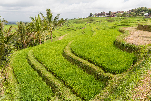 Jatuliwiyah Rice Terraces