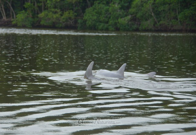 dolphins 0000 Everglades, Florida, USA