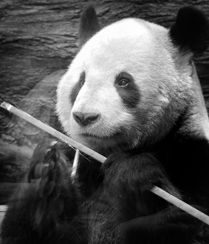Tokyo Photography of the Ueno Zoo Panda, by Pixelglo Photography