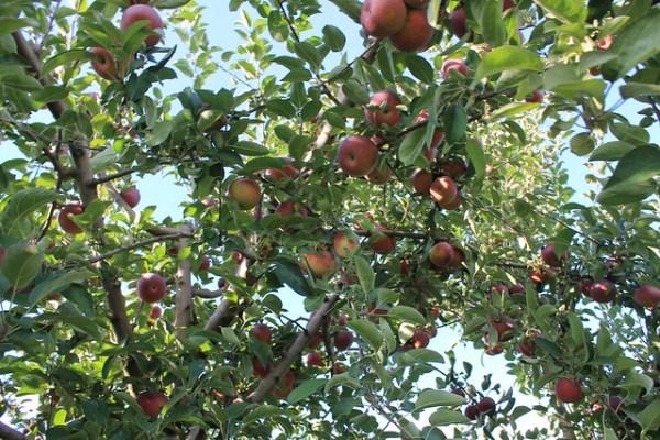 Linvilla Apple Orchard