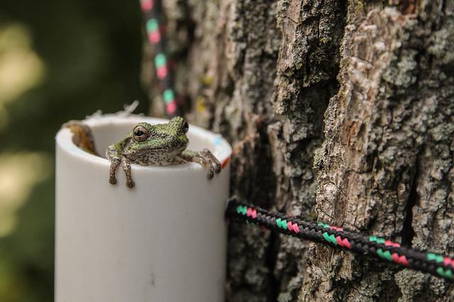 reptile amphibian survey Hyla treefrog