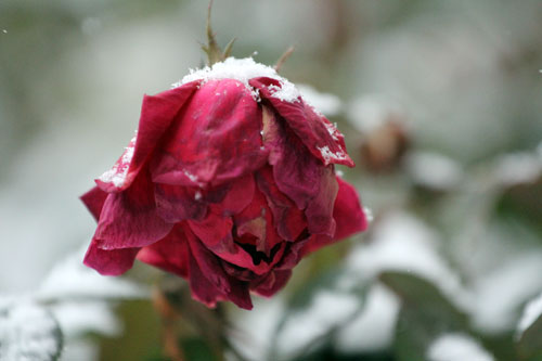 My neighbor's rose, covered in the first snow of the winter. Dec. 8, 2013