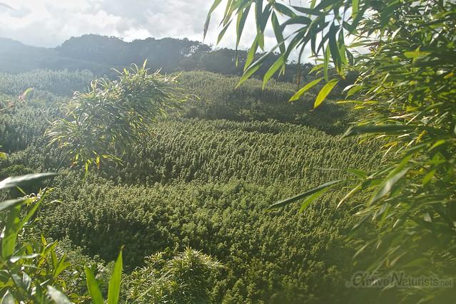 bamboo forest 0000 Na'ili'ili-haele, Maui, Hawaii, USA