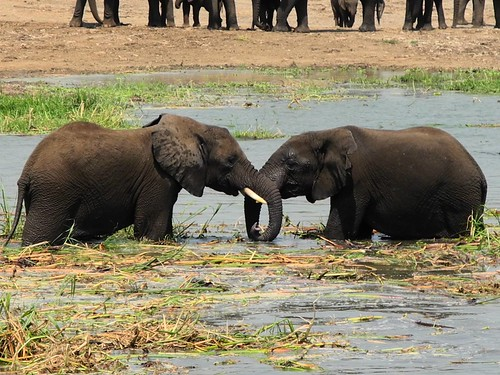 Friendly elephants on the Kazinga Channel.