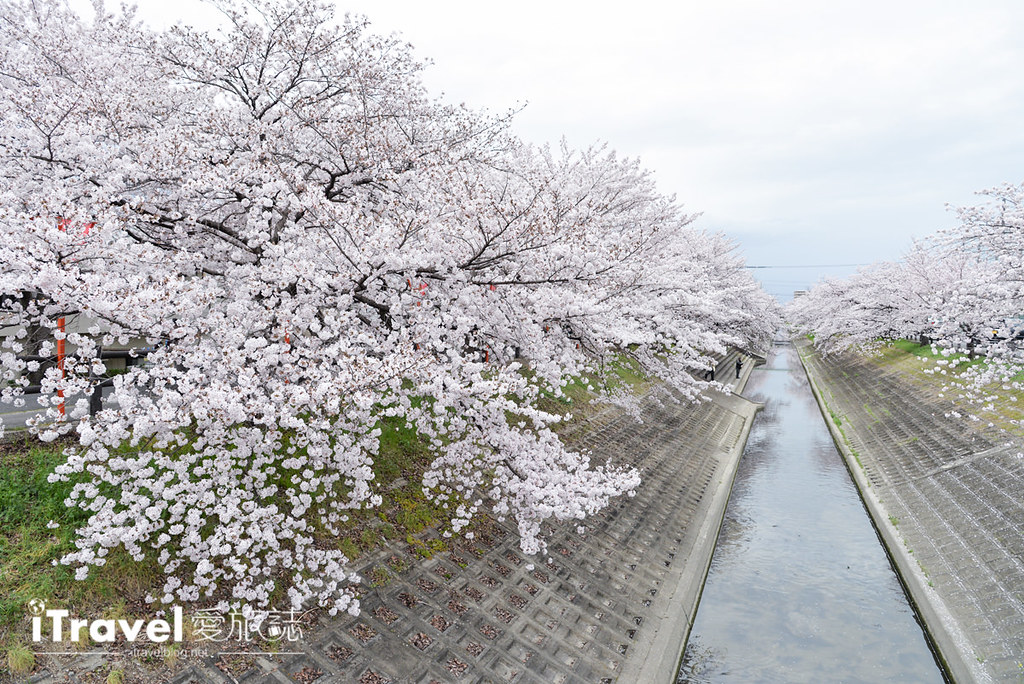 奈良赏樱景点 高田川千本樱 21