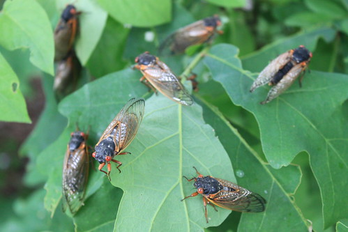 Cicadas - May 22nd - Eight Cicadas on Clipper Drive, Lake Ridge, VA