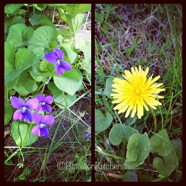 May 27 - native flower {violets & the cheerful dandelion} #photoaday #flowers #weeds