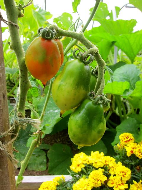 9.9.13 Winter Tomatoes — Pomodorini