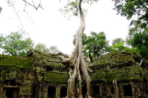Huge tree on top of Ta Prohm temple